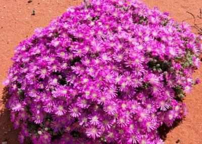 Namaqua Flower Safari, South Africa